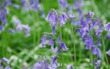 English Bluebells (Wood Hyacinth), Wendover Woods, Buckinghamshire; UK