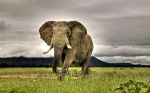 frican Elephant Walking on Savanna, Marakele National Park, South Africa
